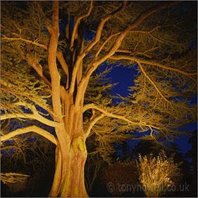 Westonbirt Arboretum -  Cedar, Dusk, Illuminated