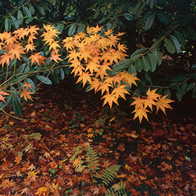 Westonbirt Arboretum - Maple, orange, fern