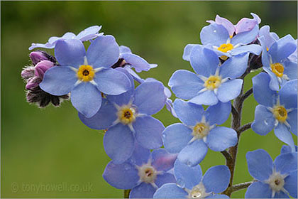 Forget-me-not close up