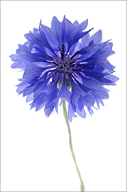 Flower Photos - Cornflower