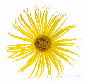Flower Photos - Inula