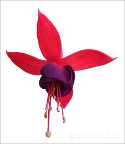 Flower Photos - Fuchsia