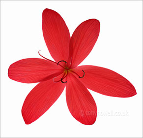 Flower Photos - Kaffir Lily