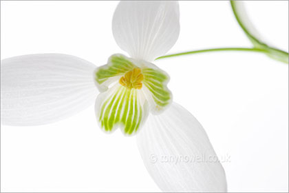 Snowdrop, close up