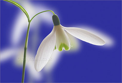 Snowdrop, on blue