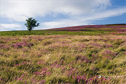 Heather, Exmoor