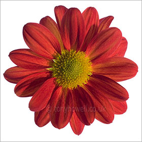 Flower Photos - Chrysanthemum