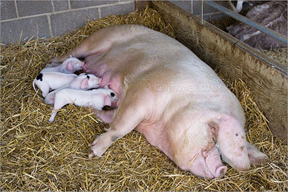 Piglets and Sow