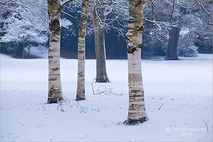 Birch Trees, Snow