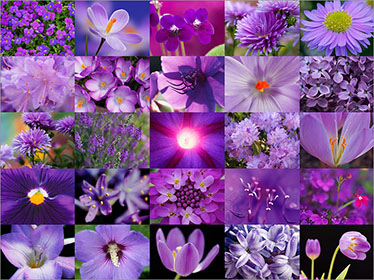 Purple Flower Collage