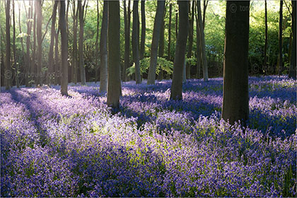 Bluebells, Micheldever