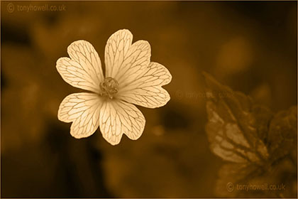 Sepia flower photos
