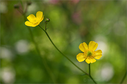 Buttercup, Rananculus