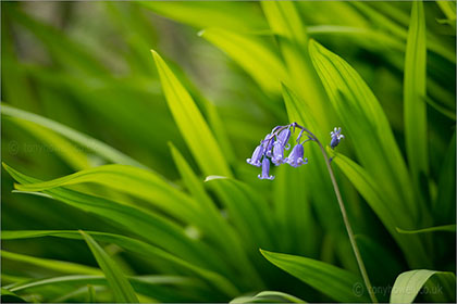 Bluebells, Crocosmia Leaves