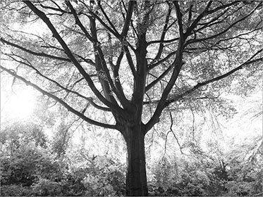 Beech Trees Black and White