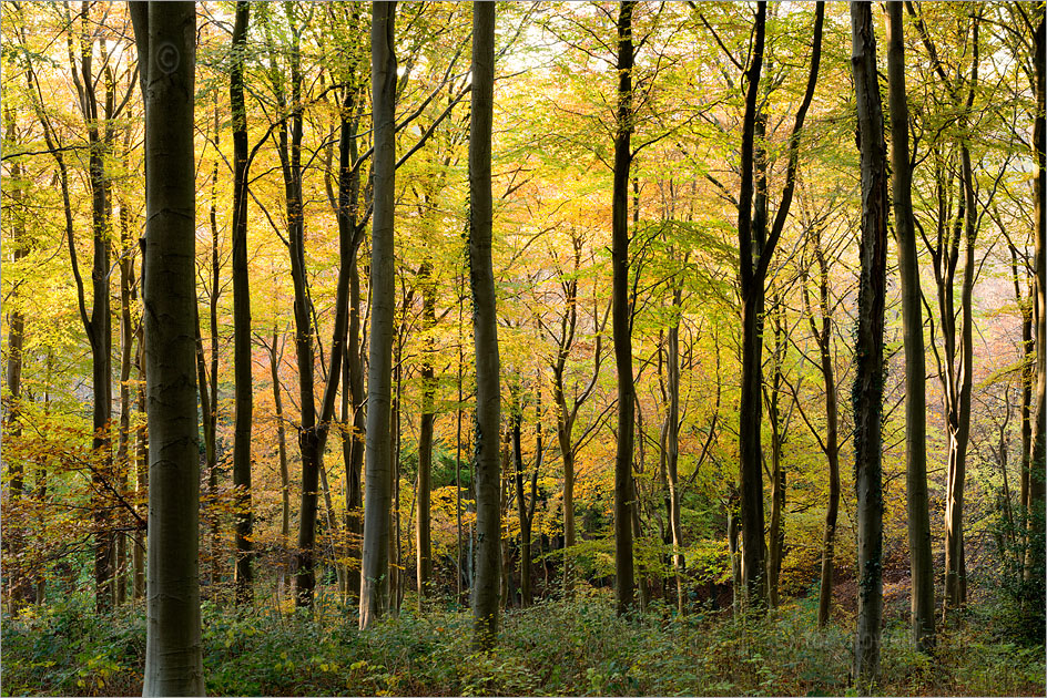 Beech Trees, Autumn, West Woods