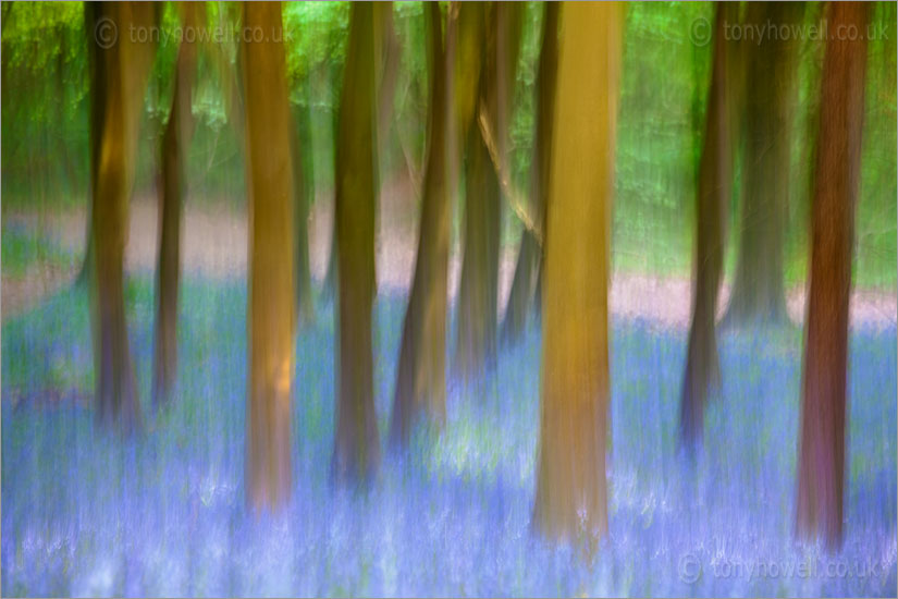 Bluebells & Beech Tree Impression