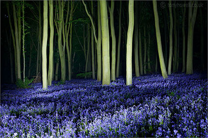 Bluebells at Night