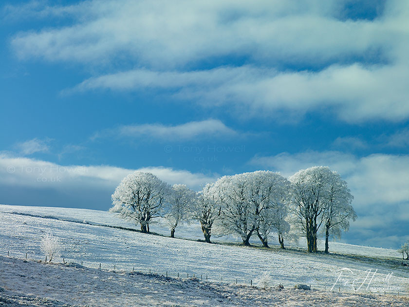 Beech Trees, Frost and Snow
