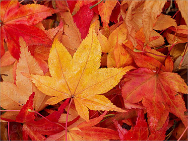 Wet Maple Leaves