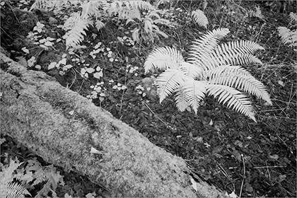 Ferns (infrared)