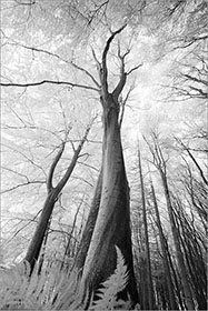 Beech Trees Infrared
