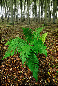 Fern, Beech Trees
