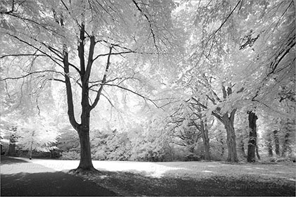 Beech Trees, Clifton