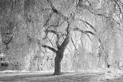 Weeping Willow Tree infrared