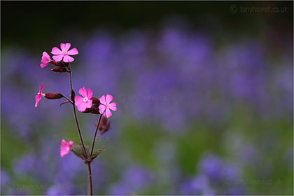Campion in front of Bluebells