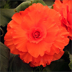 Begonia 'Guinevere'