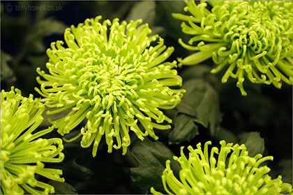 Chrysanthemum Anastasia Green