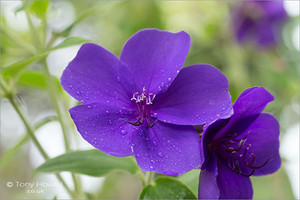 Tibouchina-urvilleana-Glory-Bush