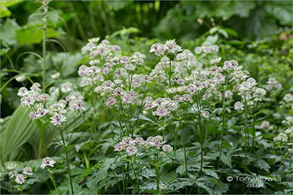 Astrantia-major-Masterwort