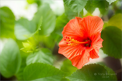 Hibiscus, Orange