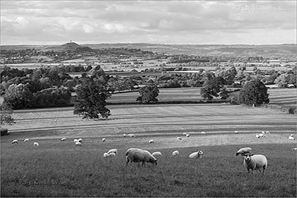 Sheep, Glastonbury Tor