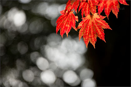 Acers/Maple Trees