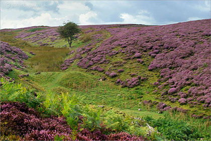 Heather near Leyburn