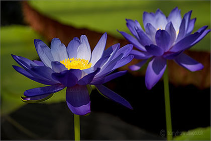 Waterlily Nymphaea 'Kews Stowaway Blues'