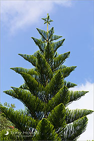 Norfolk Island Pine Tree, Tresco, Isles of Scilly