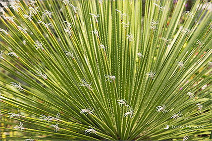 Palm, Tresco Abbey Garden, Isles of Scilly
