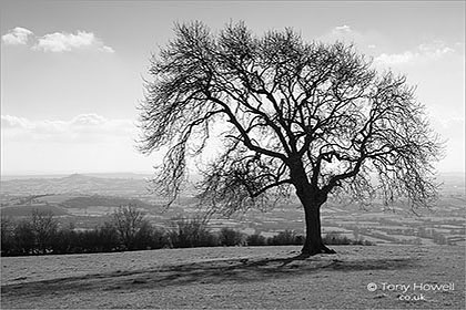 Ash Tree, Glastonbury Tor