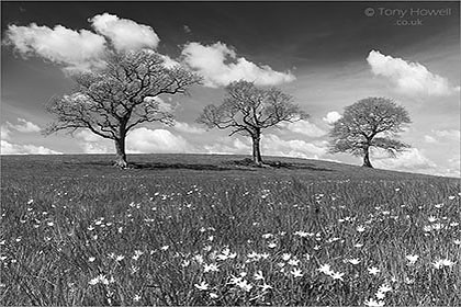 Oak Trees, Buttercups