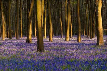 Bluebells-Beech-Trees-Micheldever