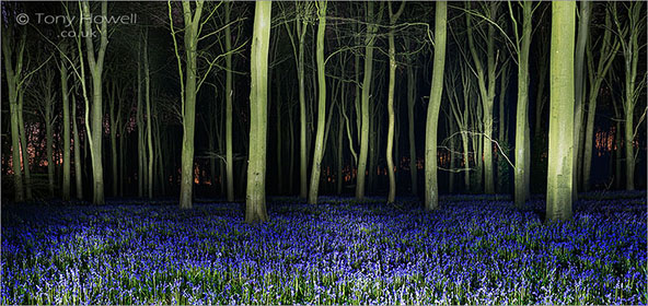 Bluebells, Night