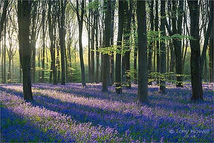 Bluebells, Dawn Micheldever