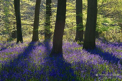 Bluebell Contre-jour