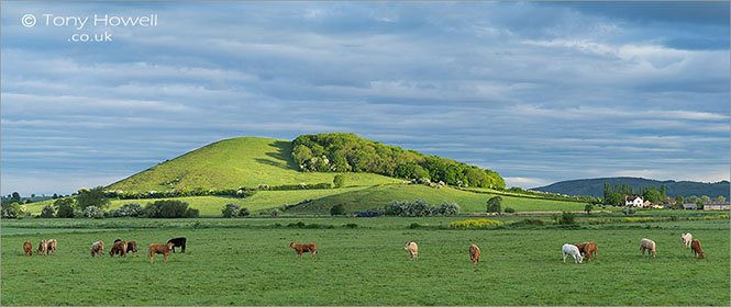 Nyland-Cows-Dawn-Somerset