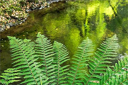 Ferns-Lydford-Gorge-Devon-AR472