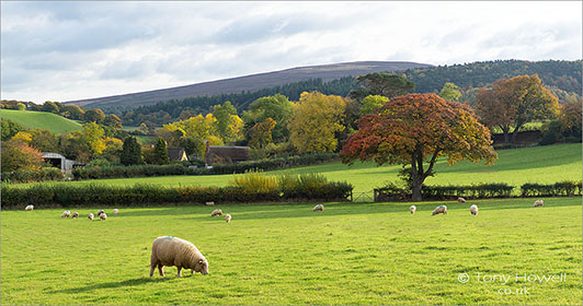 Trees-Sheep-Exmoor-Autumn-AR484
